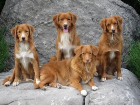 It Is Thought That Tollers Were Developed From Progenitors Or Mi Of Flat Coated Retrievers Chesapeake Bay Labrador